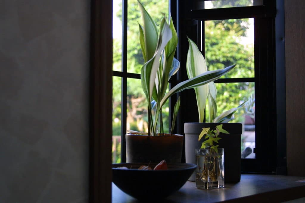 If you don't have a lot of time for your plants, a cast-iron plant is for you