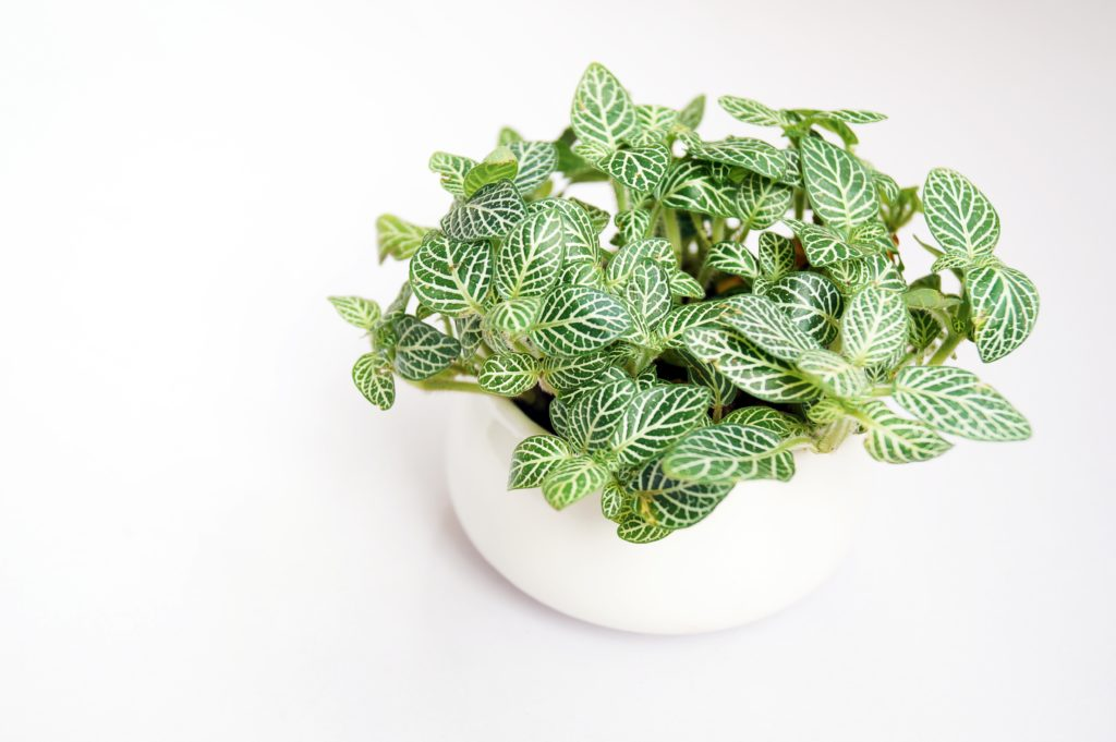 Look no further than a nerve plant to brighten up your bathroom