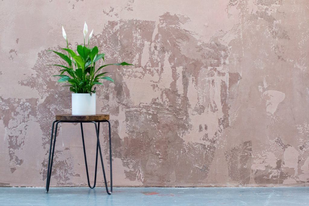 Peace lily is lovely, beautiful, and popular thanks to its low maintenance and glossy appearance