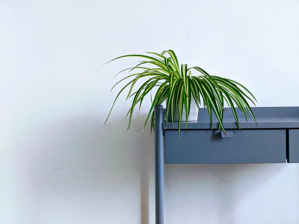 The spider plant is a win-win choice for both your health and your decoration